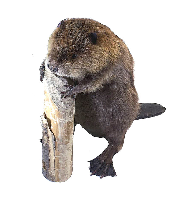 Small Standing Beaver Professional Taxidermy Animal Statue Home or Office Gift
