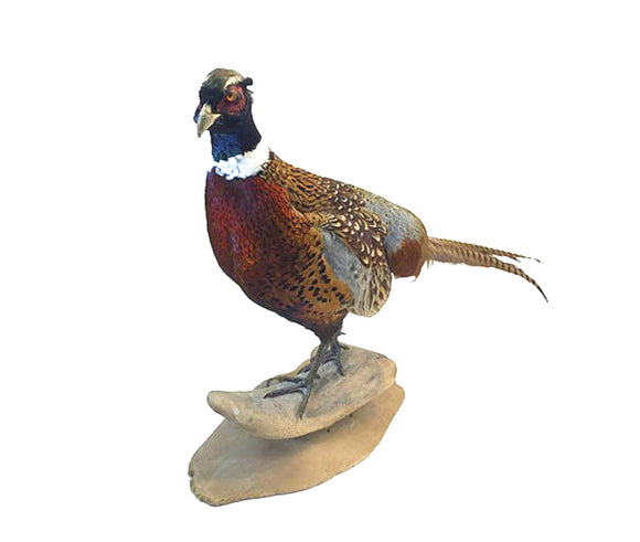 Standing Ringneck Pheasant Professional Taxidermy Mounted Animal Statue Home or Office Gift