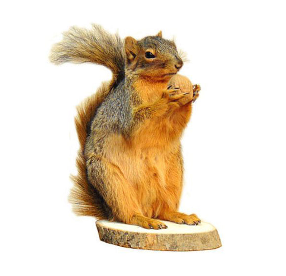 Standing Squirrel With Walnut Professional Taxidermy Animal Statue Home or Office Gift