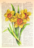 Art N Wordz Yellow Daffodil Flower Bulbs Bouquet Original Dictionary Sheet Pop Art Wall or Desk Art Print Poster