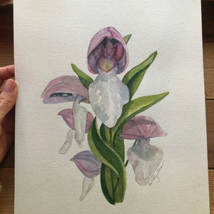 Showy Orchis watercolor