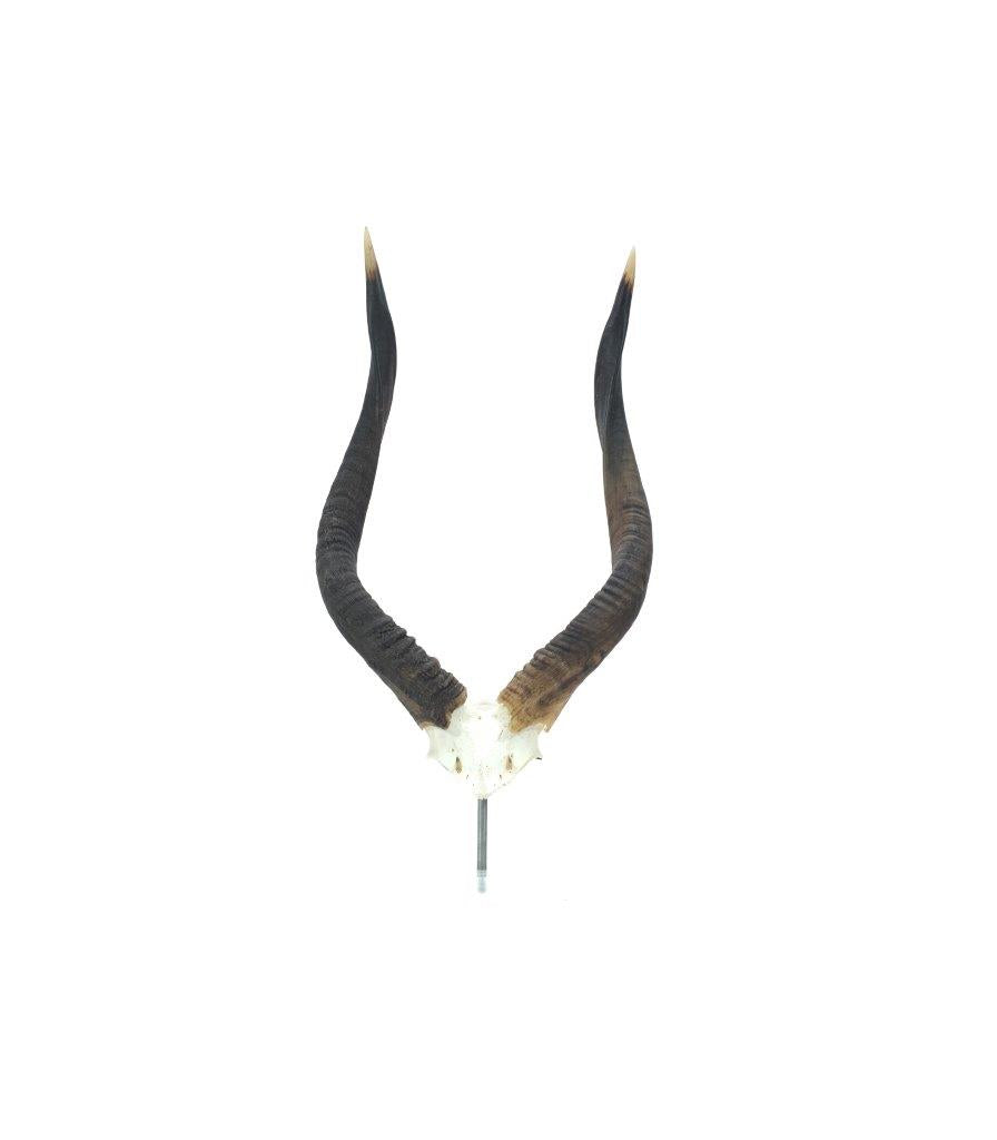 Lucite Mounted Nyala Horns