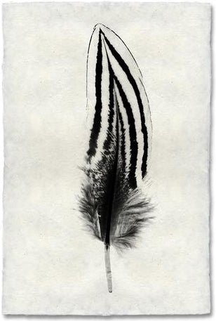 Feather Study #2, Silver Pheasant
