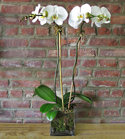 Orchid Plant - White