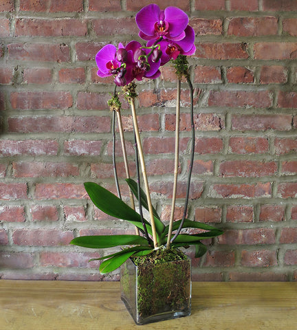 Orchid Plant - Purple