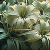 Xerographica - Queen of Air Plants