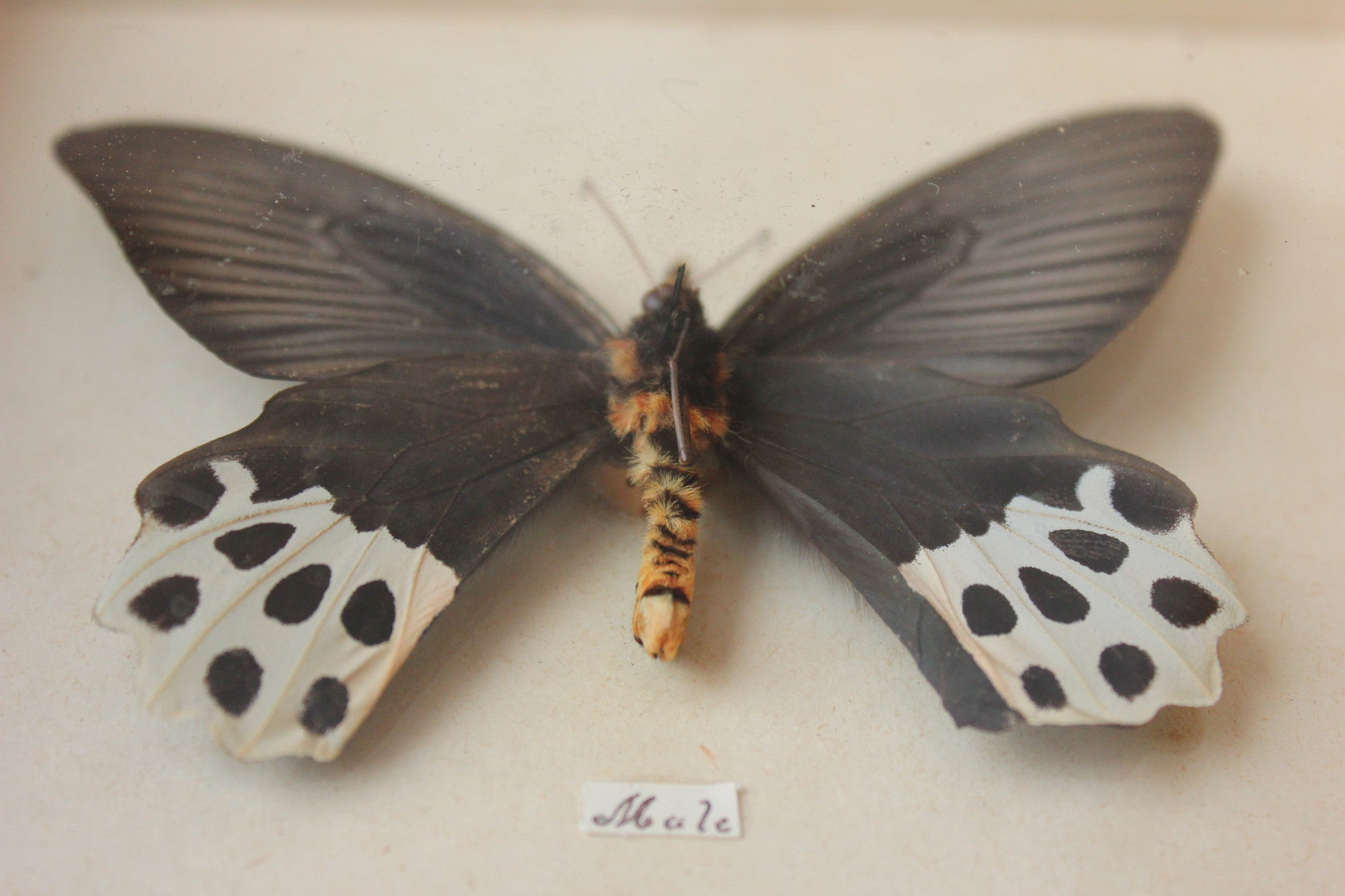 A Mid 20thC Lepidopterist's Shadow Boxed Display of a Pair of Papilio Horishanus Swallowtail Butterflies