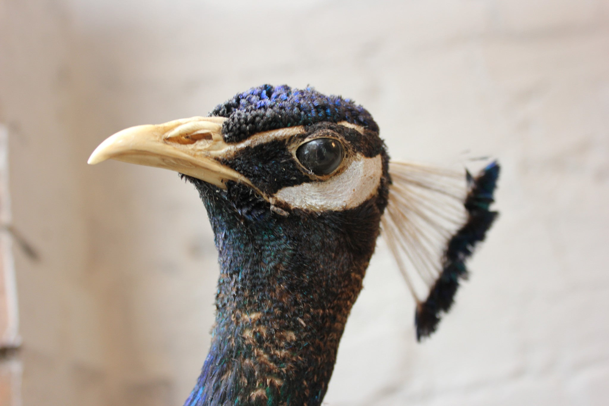 A Striking Mid 20thC Mounted Mature Taxidermy Peacock