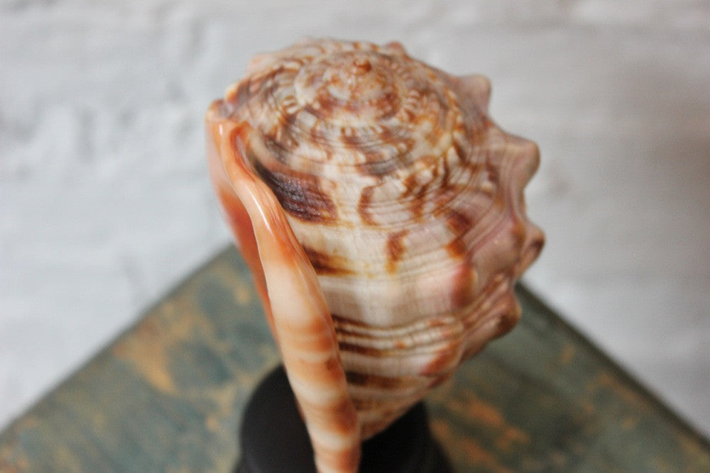 An Early 20thC Mounted Natural History Specimen of a Conch Shell