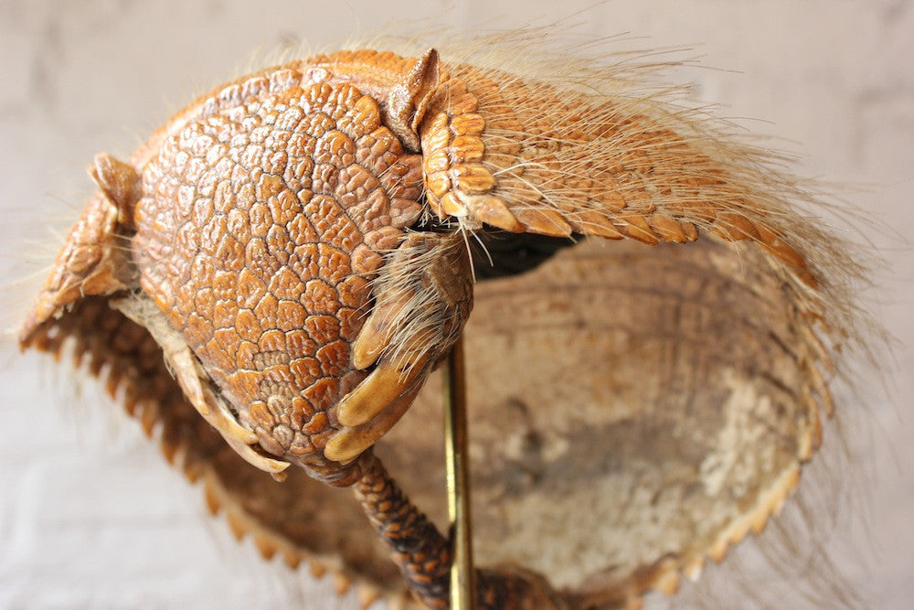 A Superb Early 20thC Natural History Taxidermy Specimen of an Armadillo Shell Basket on Stand