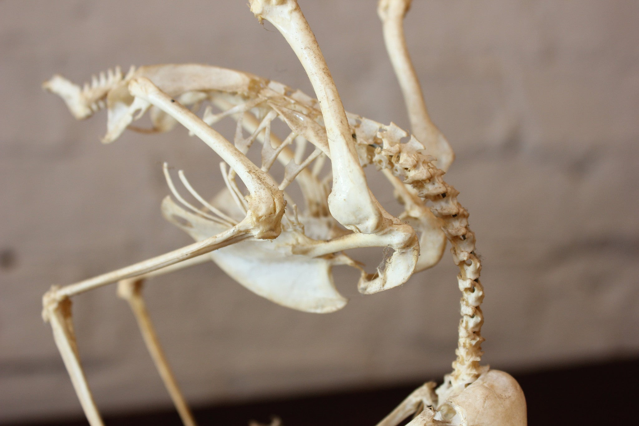 A Fascinating Natural History Articulated Anatomical Skeleton of a Sparrowhawk Preying on a Sparrow