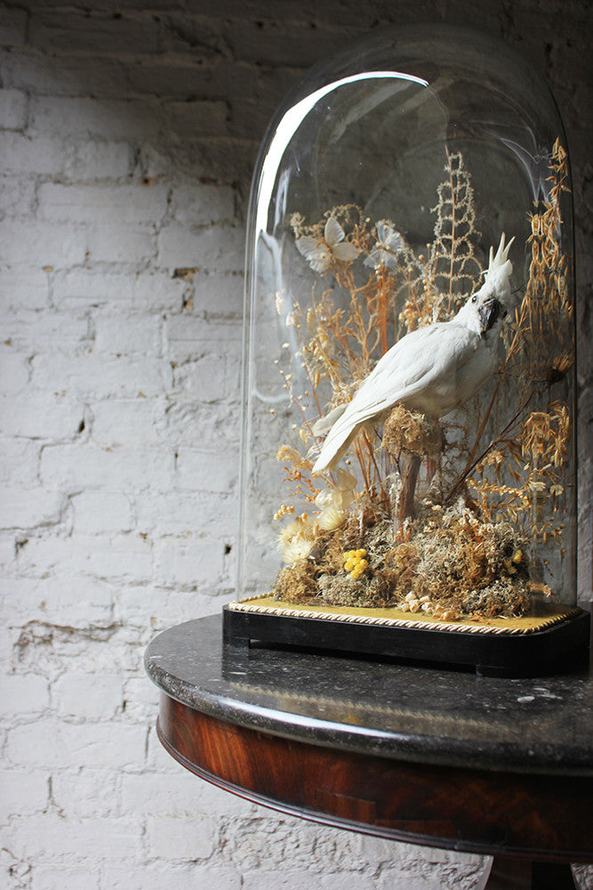A Good Quality Victorian Dome Cased Taxidermy White Cockatoo c.1880
