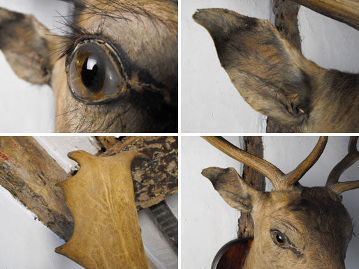 A Vintage Mounted Taxidermy Head of a Stag