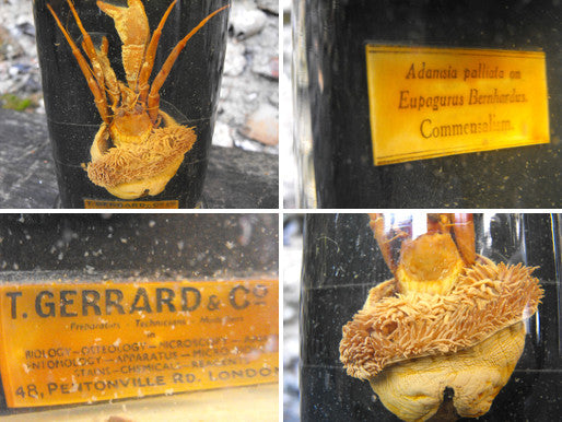 A Rare Preserved Natural History Specimen of a Hermit Crab & Sea Anemone, Prepared by T Gerrard & Co Ltd