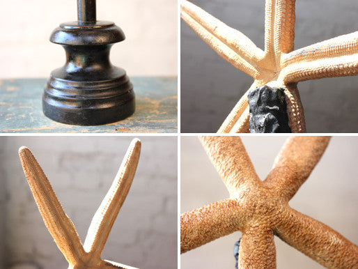 A Decorative Early 20thC Mounted Natural History Specimen of a Starfish