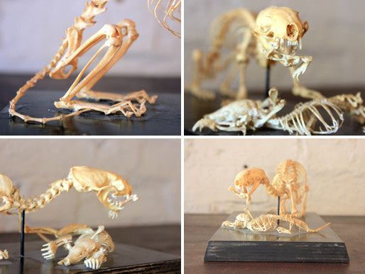 An Impressive Natural History Articulated Anatomical Skeleton of a Stoat Preying on a Mole