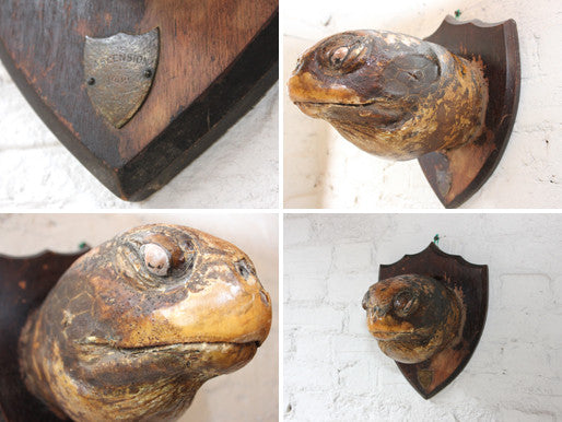 An Early 20thC Mounted Taxidermy Giant Tortoise Head; Dated to 1909 Ascension Island