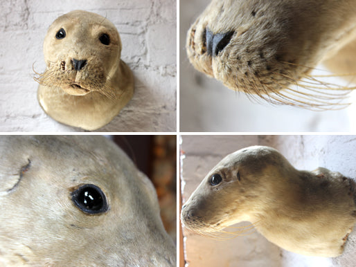 A Rare Mid 20thC Taxidermy Head Mount of a Seal