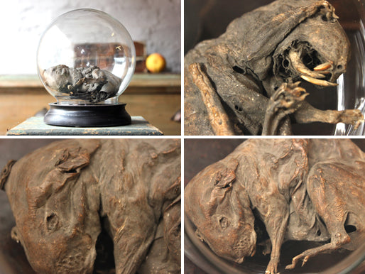 A Scarce Early Mummified Rat Under a Glass Dome From Furness Abbey, Lancashire