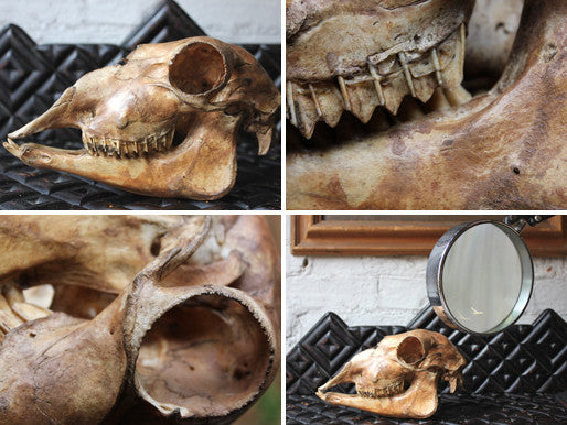 A Decorative Early 20thC Alpaca Skull
