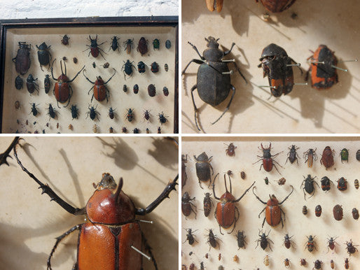 An Interesting c.1940 Framed Coleopterists Collection