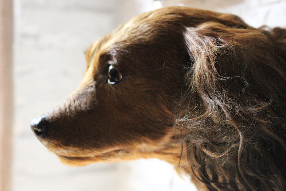 A Very Fine Early 20thC Taxidermy Long Haired Dachshund Mask on a Mahogany Shield