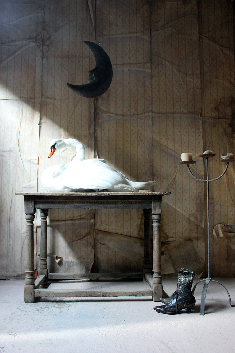 A Large Mature 20thC Taxidermy Mute Swan