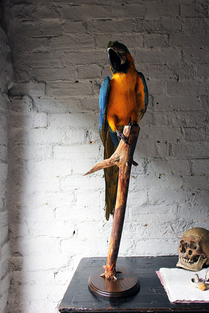 A Wonderful 20thC Taxidermy Blue & Gold Macaw