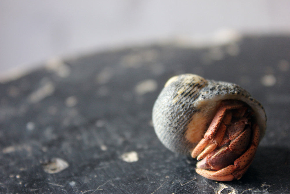 A Mid 20thC Preserved Hermit Crab