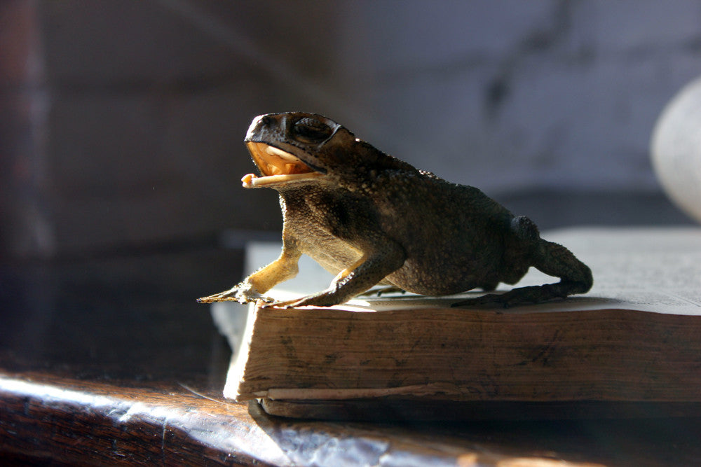 A Large Mid 20thC Taxidermy Adult Cane Toad
