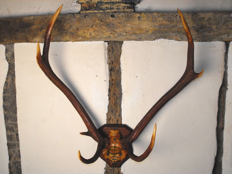 Quantock Staghounds: A Vintage Pair of Mounted Taxidermy Eight-Point Red Deer Antlers