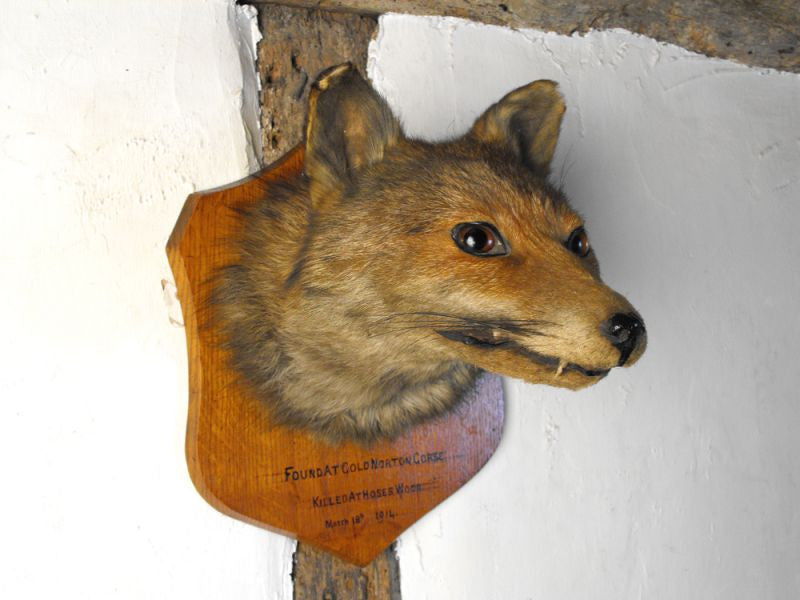 A Fine Early 20thC Mounted Taxidermy Fox Mask Dated to 1914