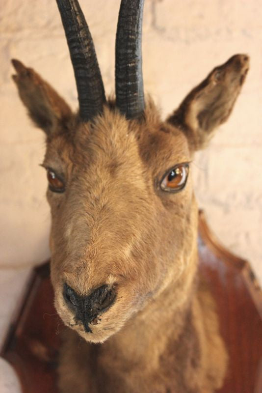 A Terrific Pair of Early 20thC Mounted Taxidermy Chamois