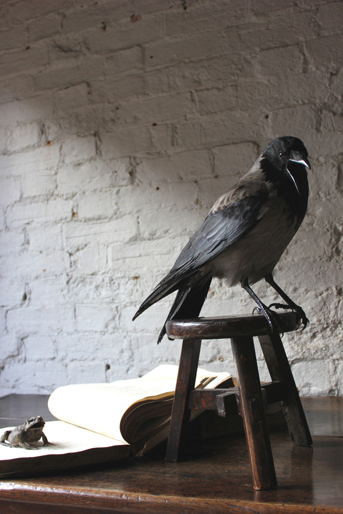 A Very Fine Contemporary Taxidermy Hooded Crow on Tripod Stool