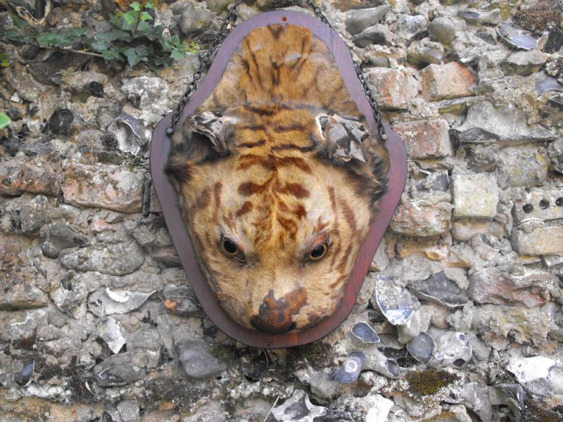 A c.1900 Taxidermy Mounted Tiger Head on Shield