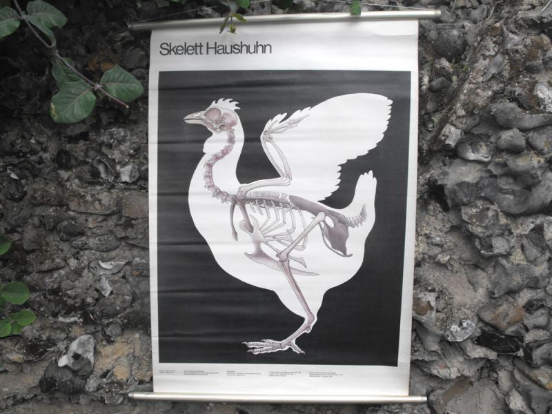 A Super Vintage Linen Backed 1980s German Educational Lithograph Poster 'Skelett Haushuhn'; Published by Volk und Wissen, Berlin
