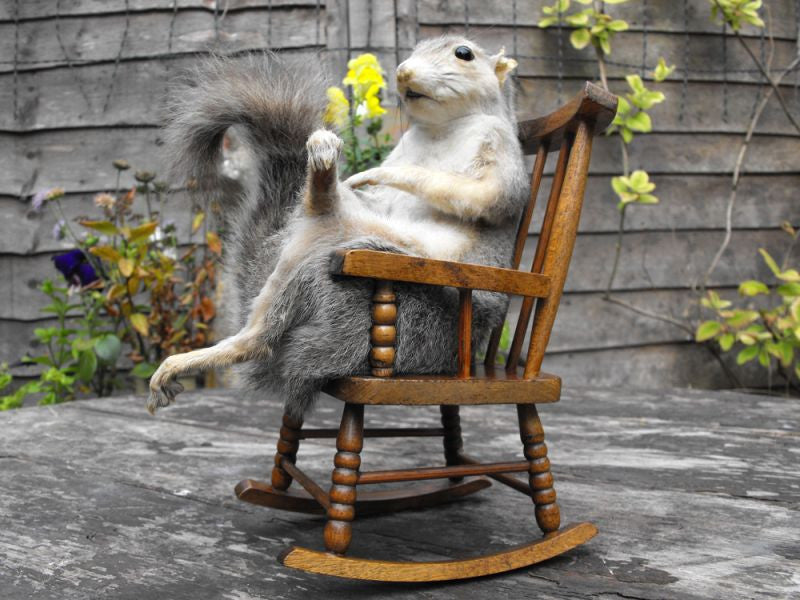 An Amusing Taxidermy Grey Squirrel, Seated in a Rocking Chair