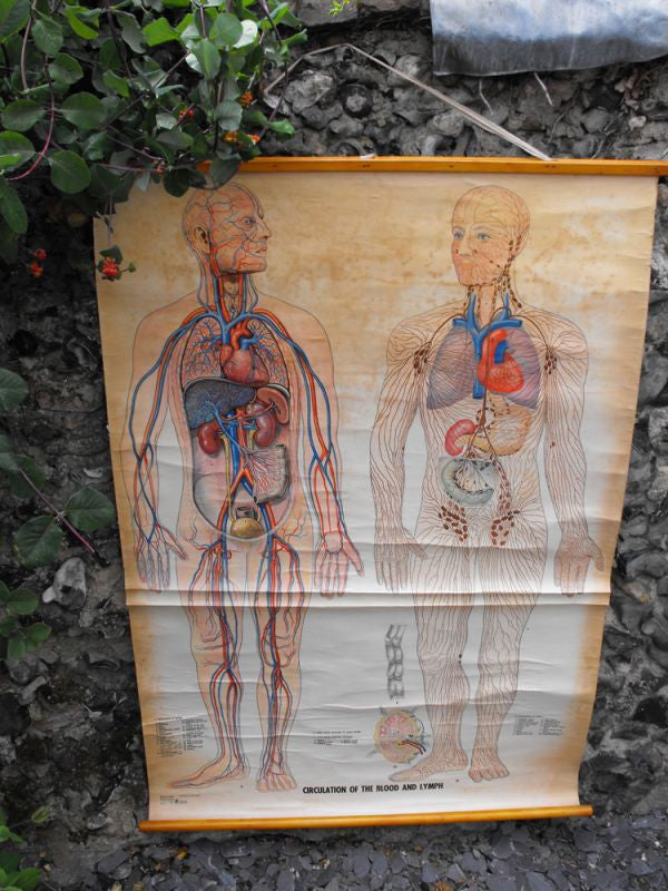 A Large Vintage Linen Backed 1960s Educational Lithograph Anatomical Poster 'Circulation of the Blood & Lymph';