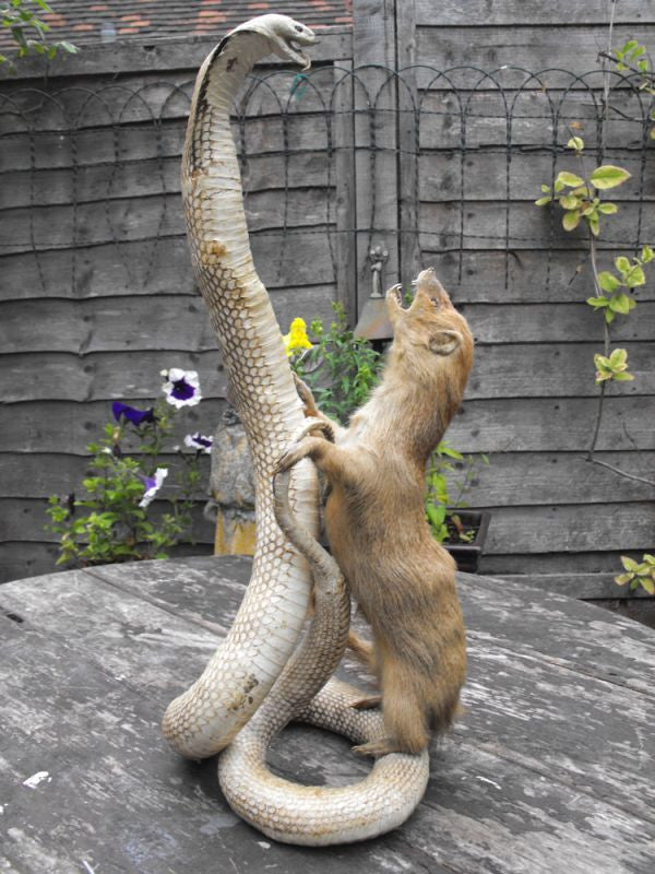 An Early 20thC Taxidermy Study of A Mounted Cobra Repelling a Mongoose