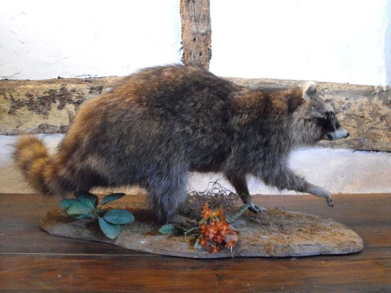 A Mounted Taxidermy Raccoon