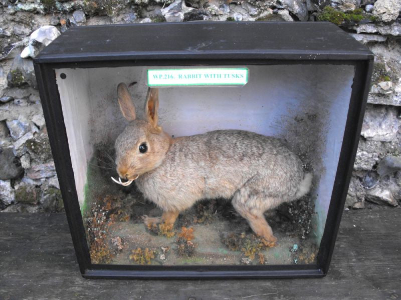 A Salient 19thC Walter Potter Taxidermy Rabbit with Tusks Mounted in a Glazed & Ebonised Display Case
