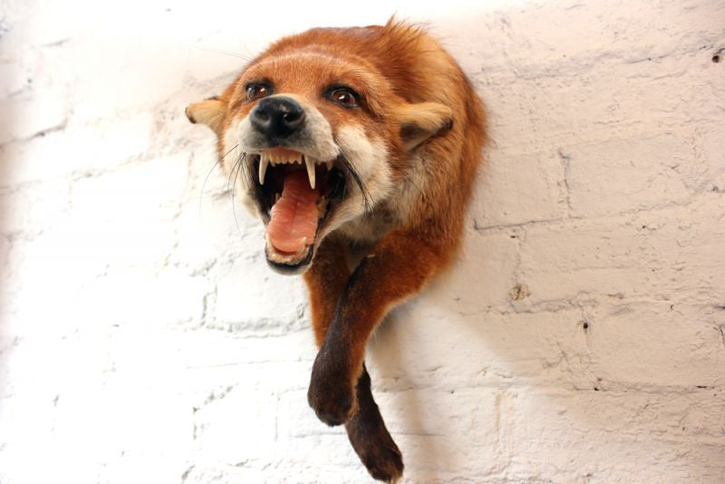 A Good Quality Open Mounted Mid 20thC Taxidermy Fox Mask & Forequarters