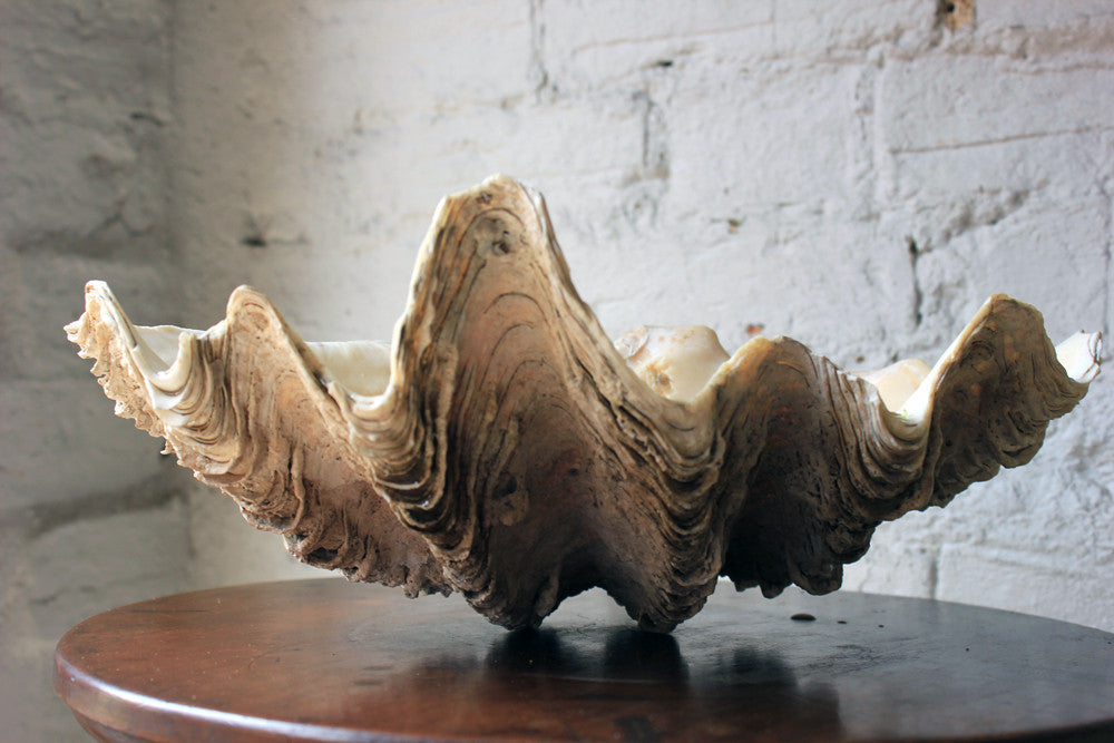 A Fine Natural History Specimen of a Giant Clam Shell