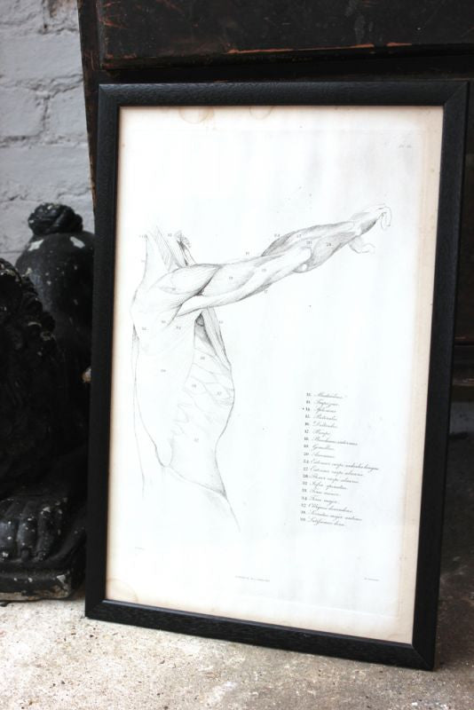 Framed Plate No.13; Anatomical Studies of Bones & Muscles, for the use of Artists; Flaxman/Landseer c.1833