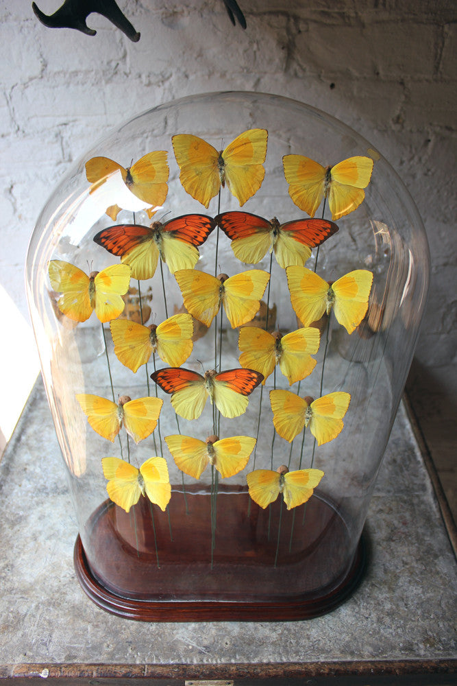 A Large Decorative Dome Cased Exotic Lepidopterists' Display