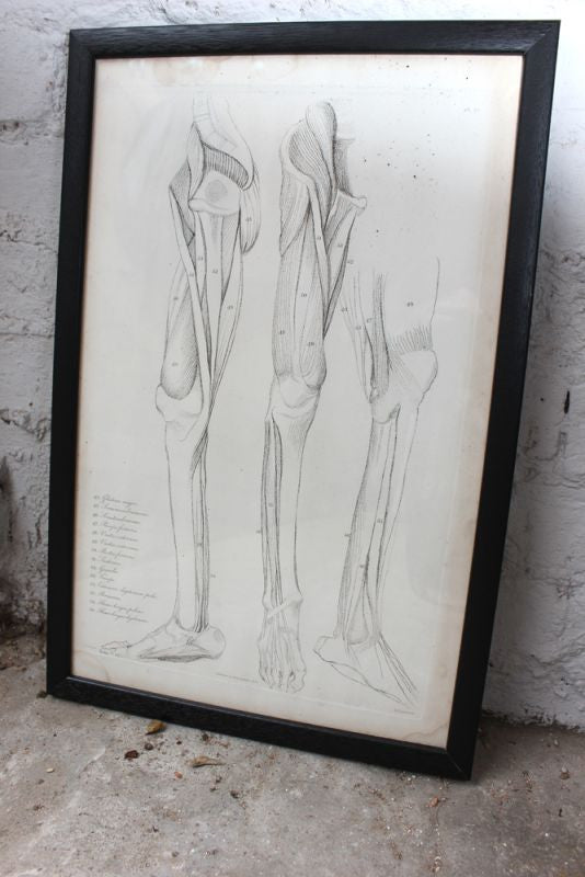 Framed Plate No.19; Anatomical Studies of Bones & Muscles, for the use of Artists; Flaxman/Landseer c.1833