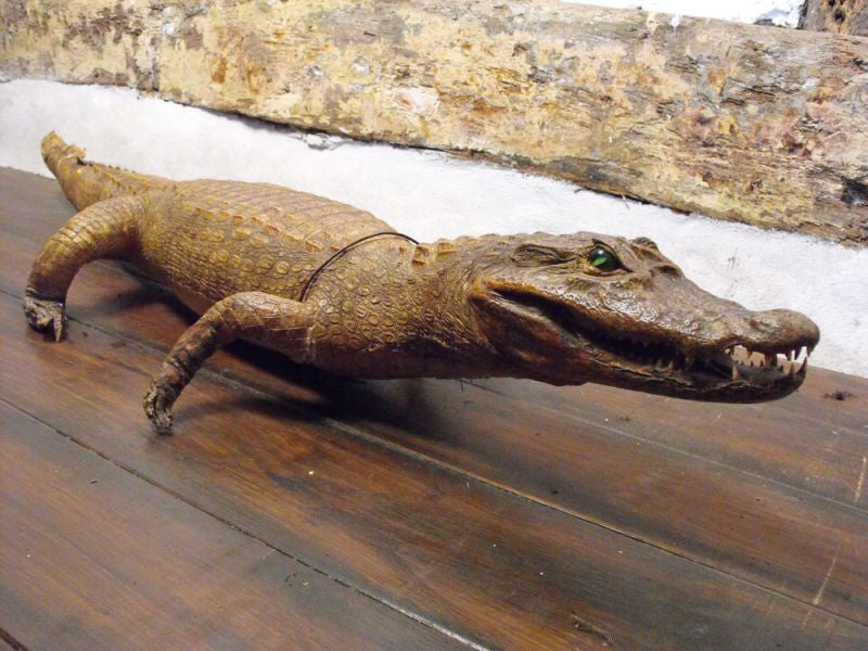 An Exotic Taxidermy Spectacled Caiman Alligator
