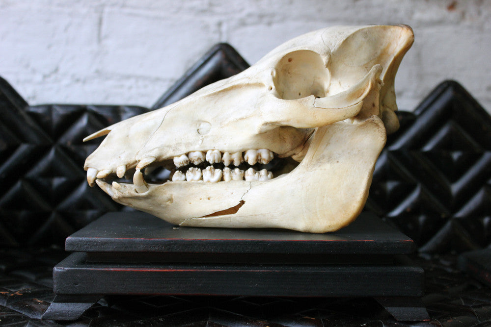 A Good Early 20thC Dutch Zoology Department Northern Sumatran Pig Skull