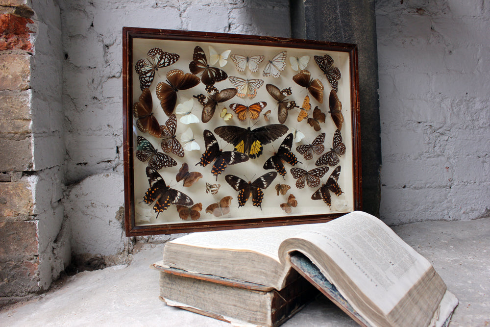 A Gorgeous c.1900 Mahogany Cased Lepidopterists' Collection