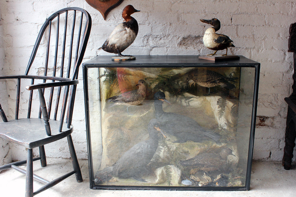 A Large & Fine 19thC Taxidermy Ornithological Quintet Group of Cormorants & Gulls